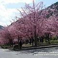 武陵賞櫻花 醫療站遊客中心前 (143)