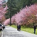 武陵賞櫻花 -管理站警察小隊前 (2)