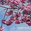 武陵賞櫻花 -管理站警察小隊前 (1)