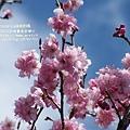 武陵賞櫻花_回程櫻花林 (22)