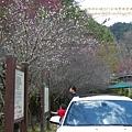 武陵賞櫻花之武陵山莊武陵橋篇 (11)