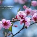 武陵賞櫻花之武陵山莊武陵橋篇 (14)
