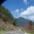 武陵賞櫻花 -雪山登山口篇 (1)