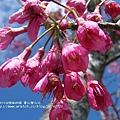 武陵賞櫻花 -雪山登山口篇 (117)