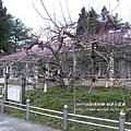 福壽山農場 蘋果王 (291)