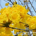 溪州拍黃花風鈴木 (13)
