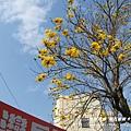 溪州拍黃花風鈴木 (20)