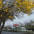 溪州拍黃花風鈴木 (44)