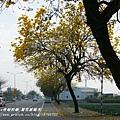 溪州拍黃花風鈴木 (68)