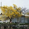 溪州拍黃花風鈴木 (80)