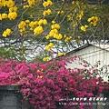 溪州拍黃花風鈴木 (88)