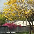 溪州拍黃花風鈴木 (91)