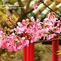 陽明山杜鵑花開 (44)