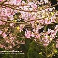 陽明山杜鵑花開 (36)
