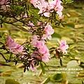 陽明山杜鵑花開 (57)