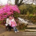 陽明山杜鵑花開 (80)