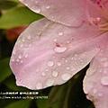 陽明山杜鵑花開 (93)