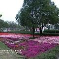 彰化溪州公園花在彰化 (21)