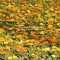 彰化溪州公園花在彰化 (63)