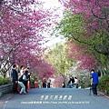 南投信義草坪頭賞櫻花 153