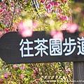 南投信義草坪頭賞櫻花 171
