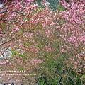 鳳凰茶園賞花 (10)
