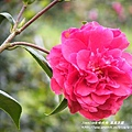 鳳凰茶園賞花 (101)