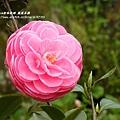 鳳凰茶園賞花 (103)