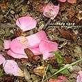 鳳凰茶園賞花 (104)
