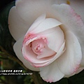 鳳凰茶園賞花 (107)