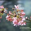 鳳凰茶園賞花 (16)
