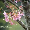 鳳凰茶園賞花 (17)