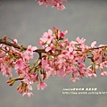 鳳凰茶園賞花 (30)
