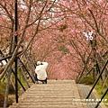 鳳凰茶園賞花 (34)