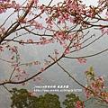 鳳凰茶園賞花 (39)