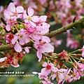 鳳凰茶園賞花 (6)