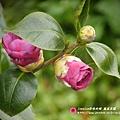 鳳凰茶園賞花 (76)