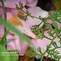鳳凰茶園賞花 (79)