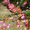 鳳凰茶園賞花 (88)