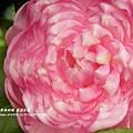 鳳凰茶園賞花 (90)