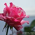 全得玫瑰莊園 (12)
