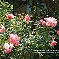 全得玫瑰莊園 (46)