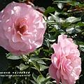 全得玫瑰莊園 (63)