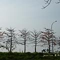 木棉花拍拍 (119)