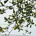木棉花拍拍 (15)