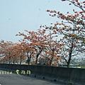 木棉花拍拍 (8)