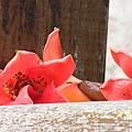 木棉花拍拍 (9)