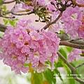 豐樂公園洋紅風鈴木 (13)