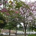 豐樂公園洋紅風鈴木 (15)