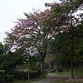 豐樂公園洋紅風鈴木 (22)